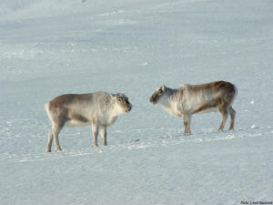 Svalbard reindeers in winters clothes